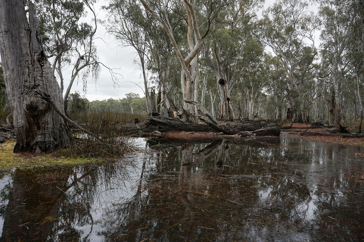Gunbower Forest, an important area for native fish breeding and recruitment. Photo credit: Amy Russell